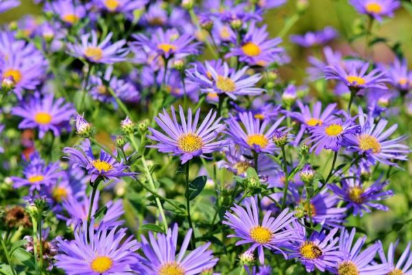 aster-flowers